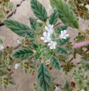 flor de arena 4